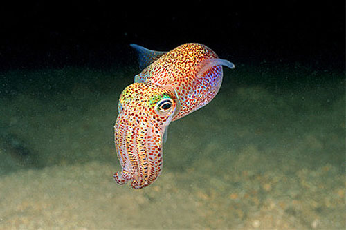 Nice wallpapers Squid 500x333px