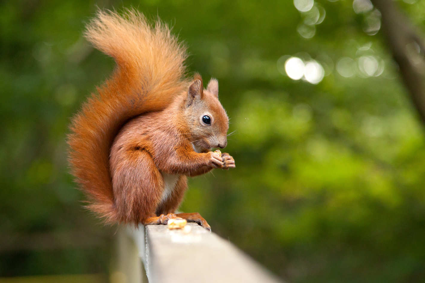 Squirrel High Quality Background on Wallpapers Vista