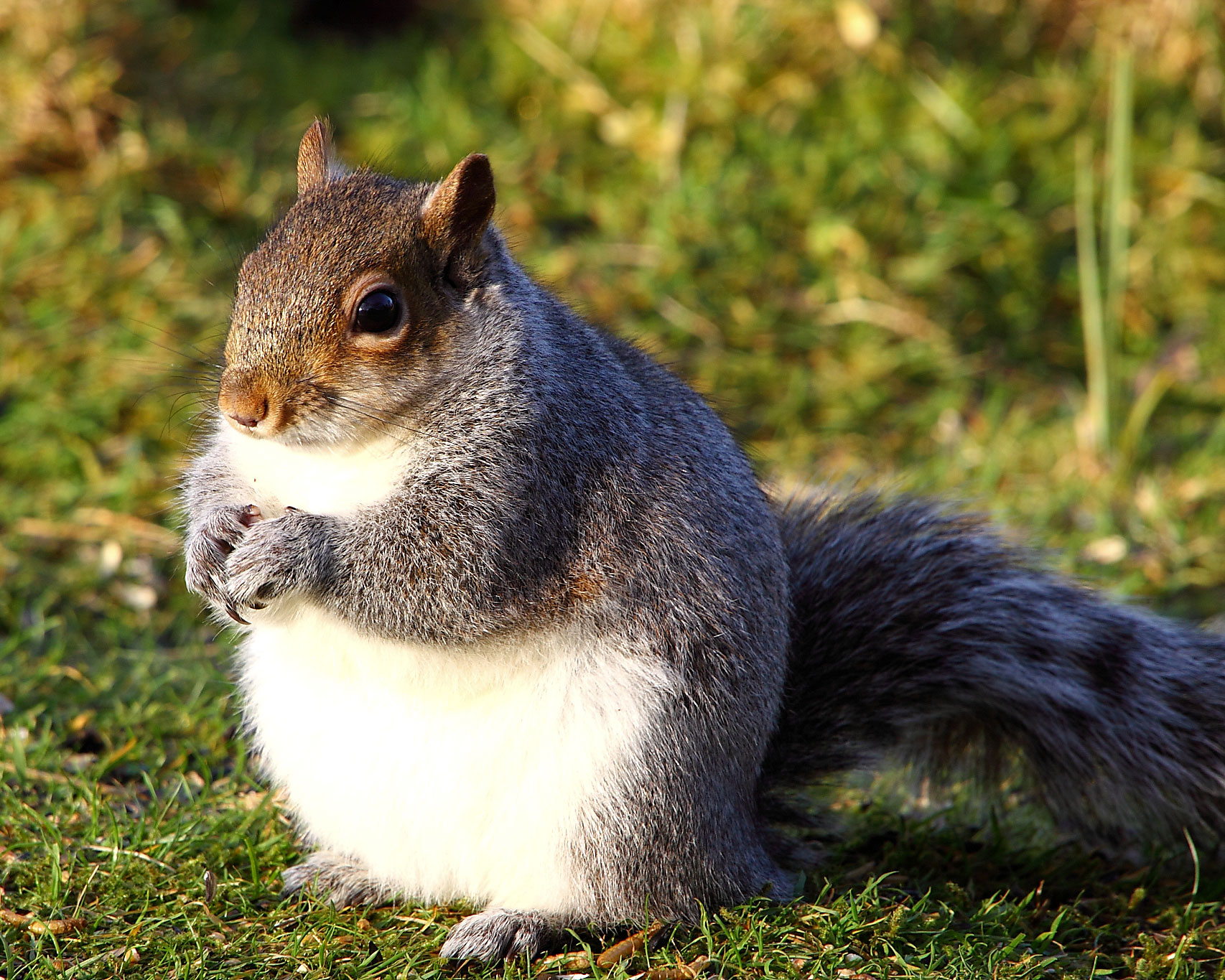 High Resolution Wallpaper | Squirrel 1706x1365 px