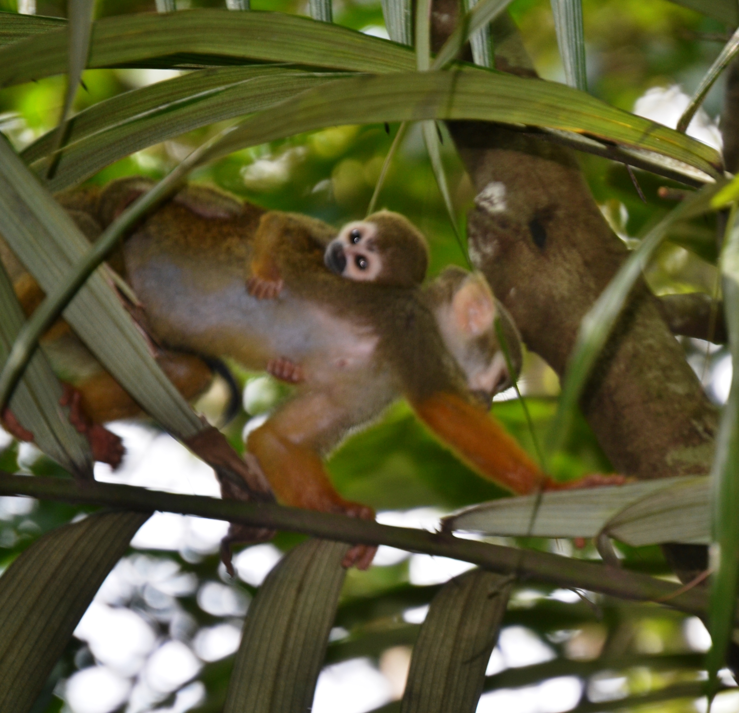 High Resolution Wallpaper | Squirrel Monkey 2388x2304 px