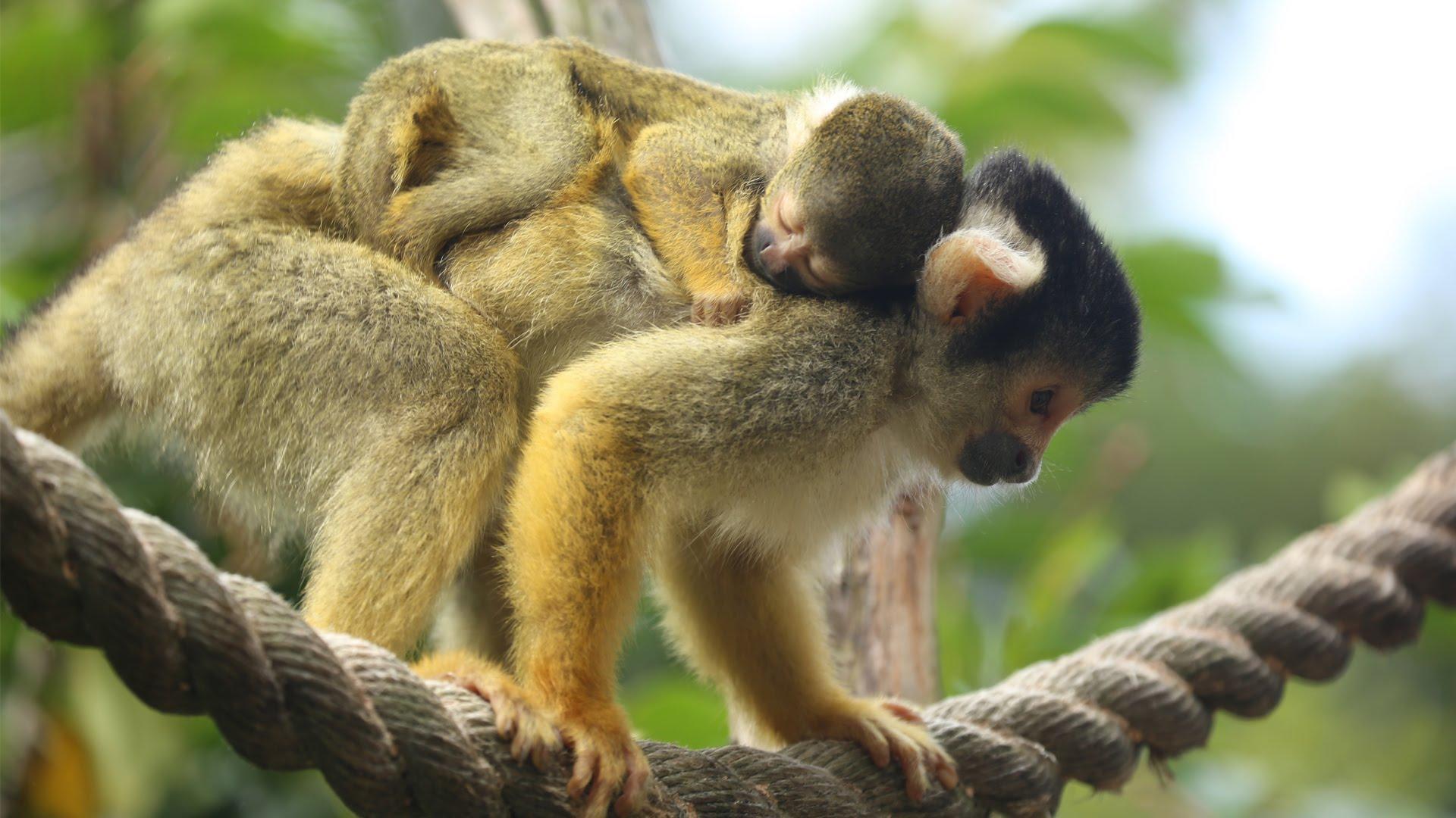 Squirrel Monkey Backgrounds, Compatible - PC, Mobile, Gadgets| 1920x1080 px