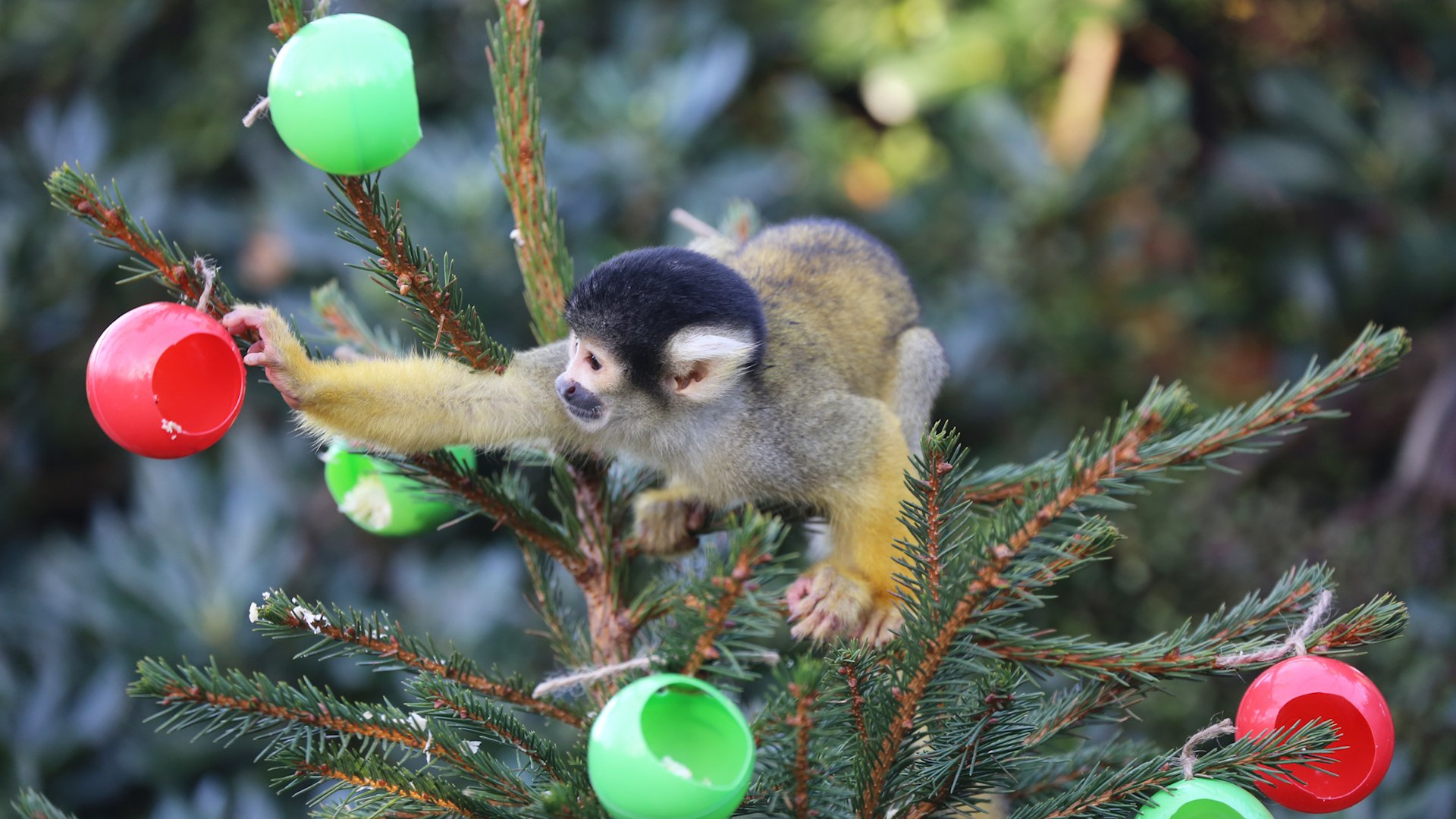 HQ Squirrel Monkey Wallpapers | File 286.57Kb