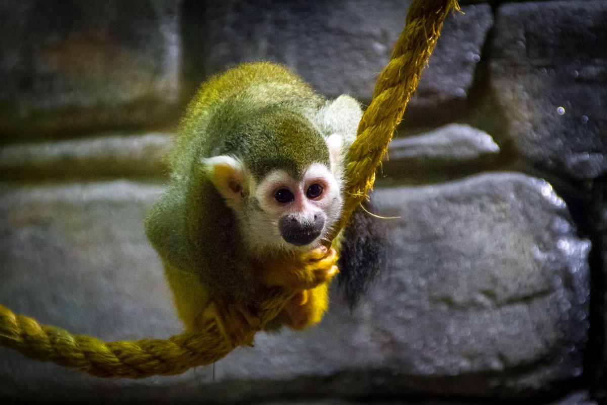 Squirrel Monkey Pics, Animal Collection