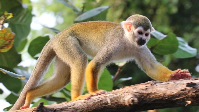 HD Quality Wallpaper | Collection: Animal, 700x394 Squirrel Monkey