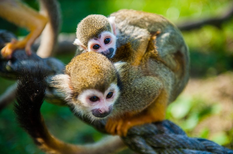 HD Quality Wallpaper | Collection: Animal, 800x532 Squirrel Monkey