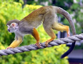 High Resolution Wallpaper | Squirrel Monkey 350x272 px