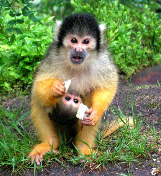Squirrel Monkey High Quality Background on Wallpapers Vista