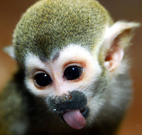 HD Quality Wallpaper | Collection: Animal, 500x474 Squirrel Monkey