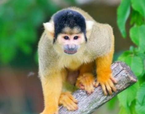 Images of Squirrel Monkey | 470x370