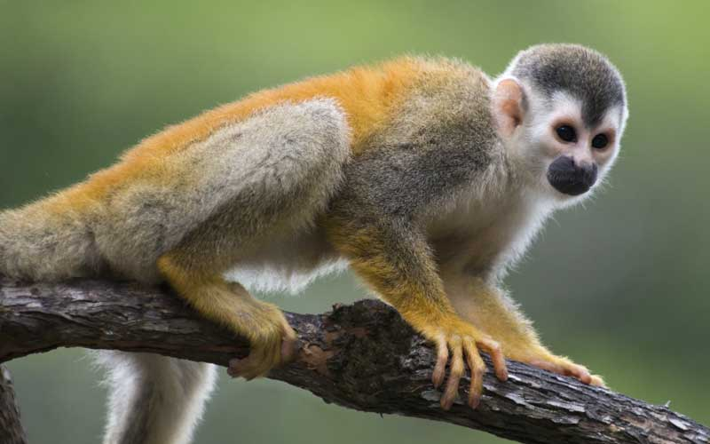 Nice Images Collection: Squirrel Monkey Desktop Wallpapers