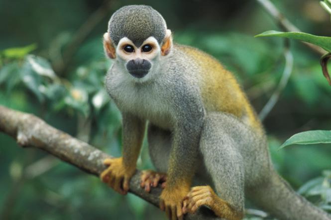 High Resolution Wallpaper | Squirrel Monkey 665x443 px