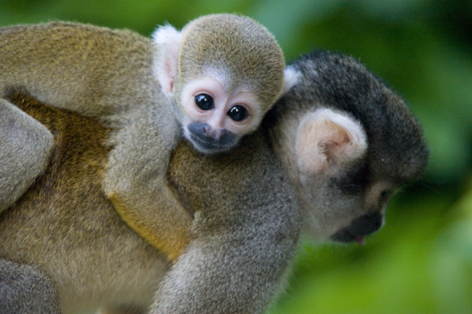 Amazing Squirrel Monkey Pictures & Backgrounds