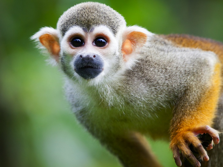 HD Quality Wallpaper | Collection: Animal, 728x546 Squirrel Monkey