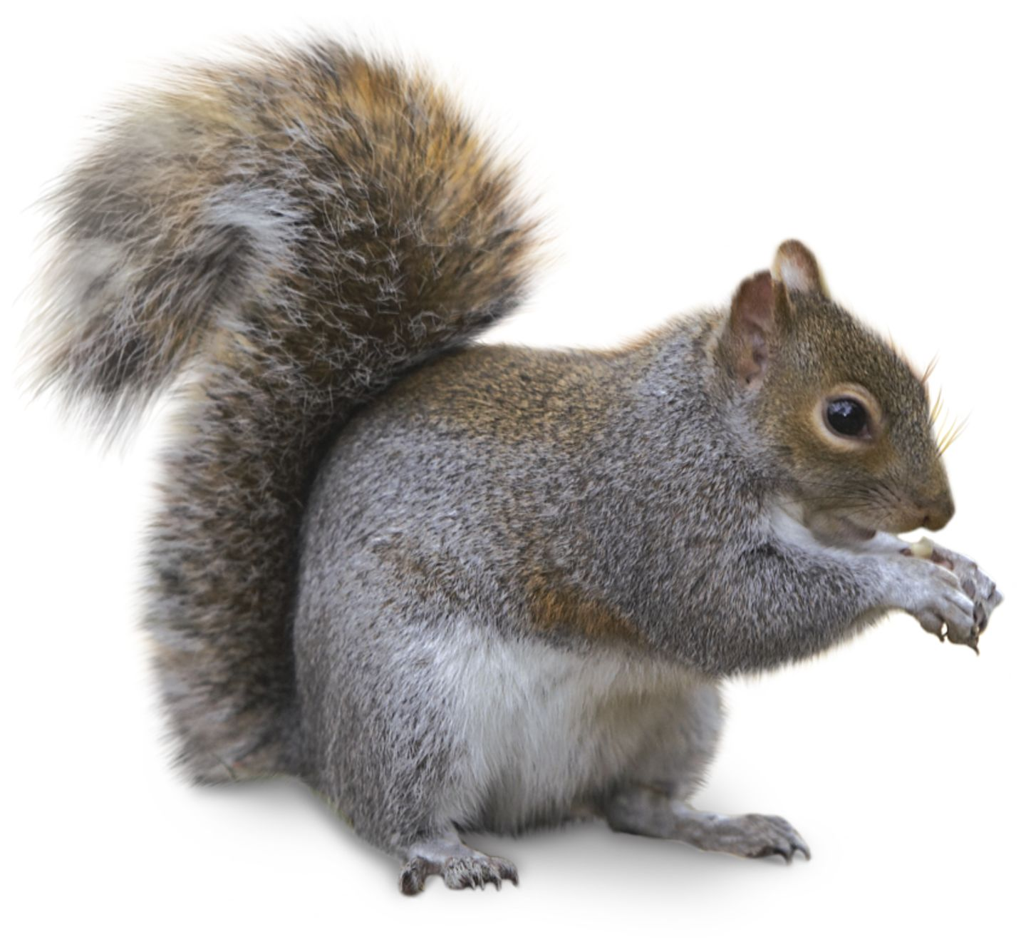 Squirrel Pics, Animal Collection