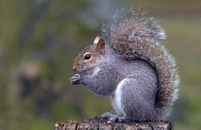 High Resolution Wallpaper | Squirrel 402x261 px