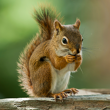 Nice wallpapers Squirrel 450x450px