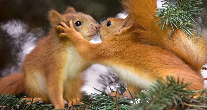 HD Quality Wallpaper | Collection: Animal, 707x377 Squirrel