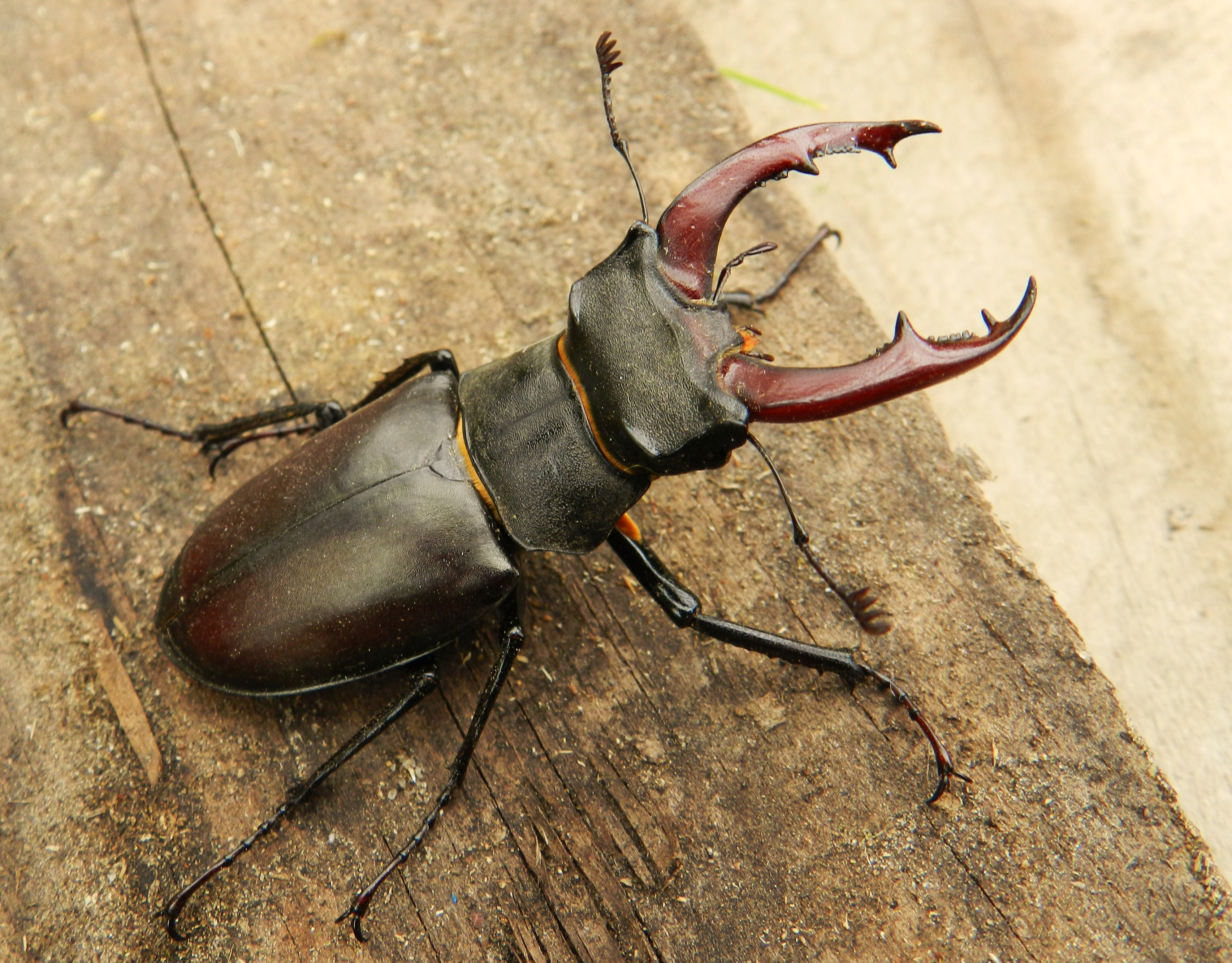 Nice Images Collection: Stag Beetle Desktop Wallpapers