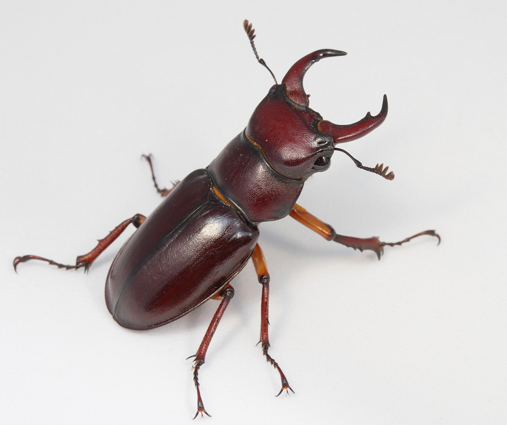 Images of Stag Beetle | 1024x858