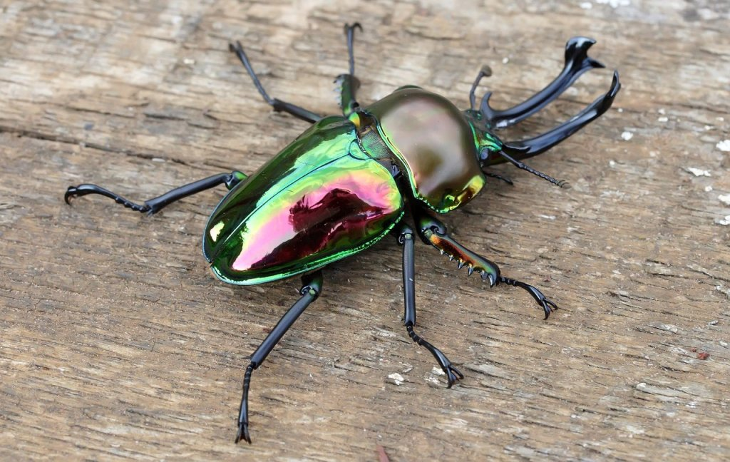 Amazing Stag Beetle Pictures & Backgrounds