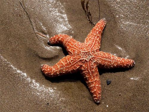 Nice wallpapers Starfish 500x375px