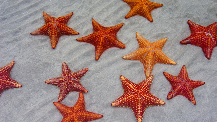Starfish Backgrounds, Compatible - PC, Mobile, Gadgets| 700x394 px