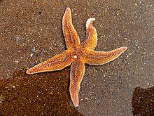 High Resolution Wallpaper | Starfish 220x165 px