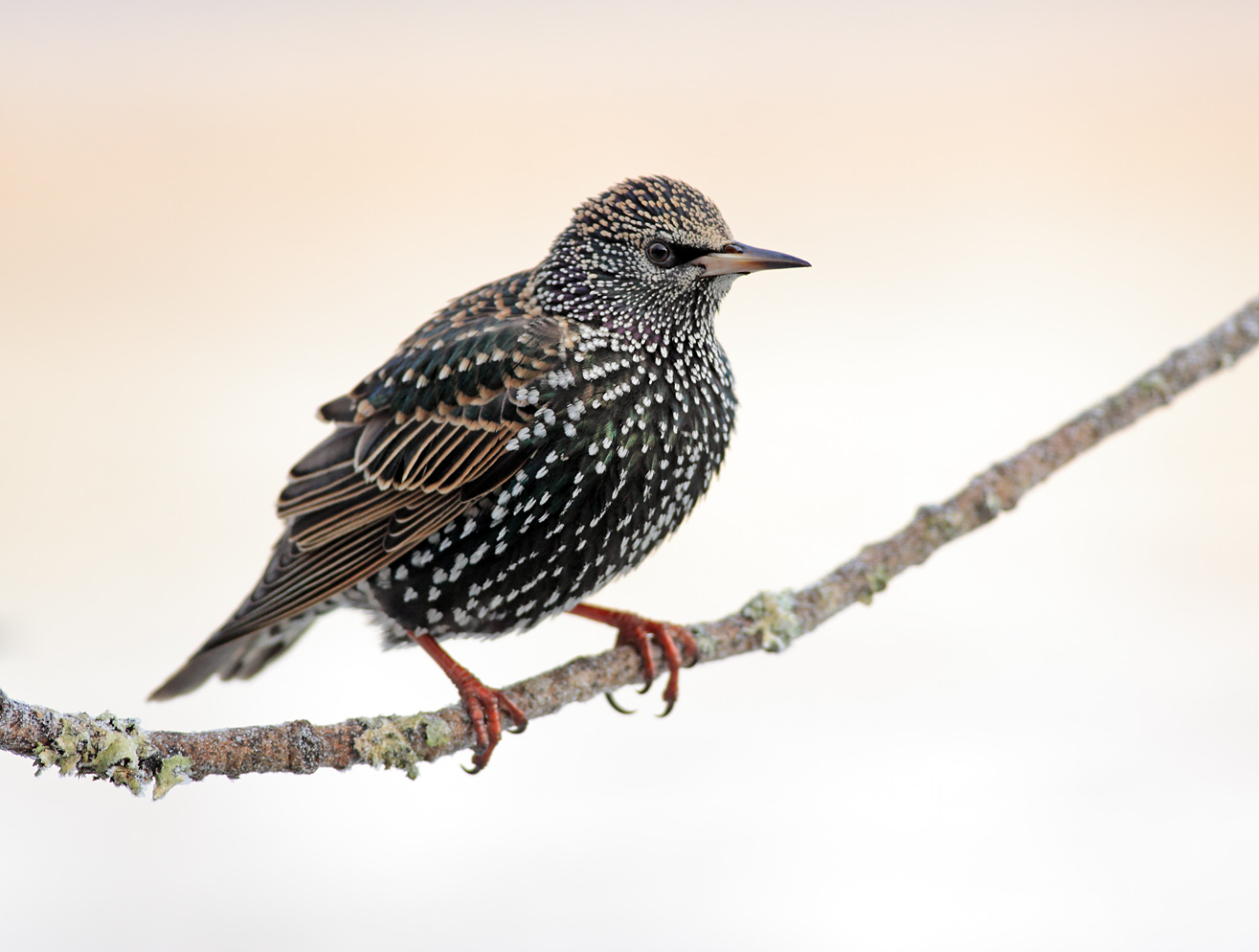 HD Quality Wallpaper | Collection: Animal, 1315x994 Starling