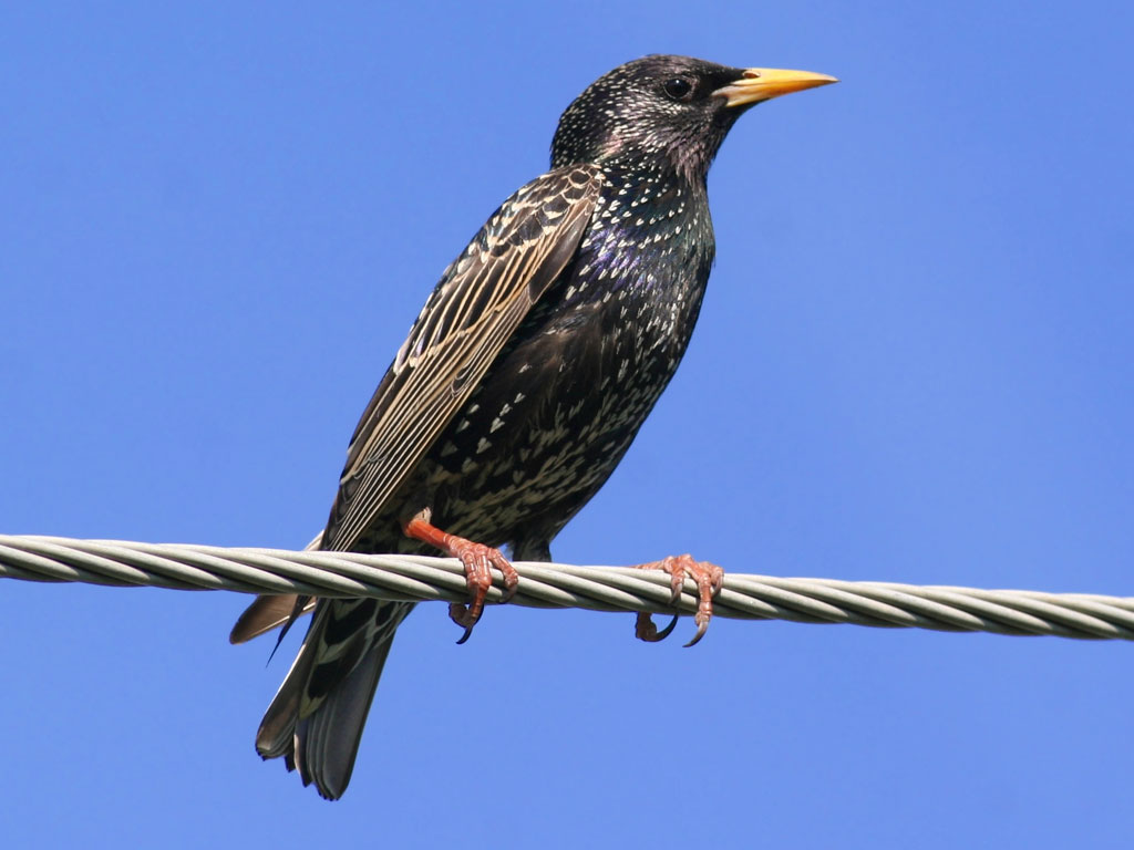Images of Starling | 1024x768