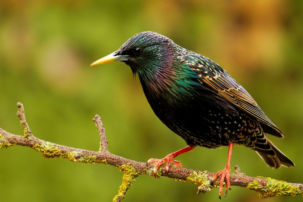 Amazing Starling Pictures & Backgrounds