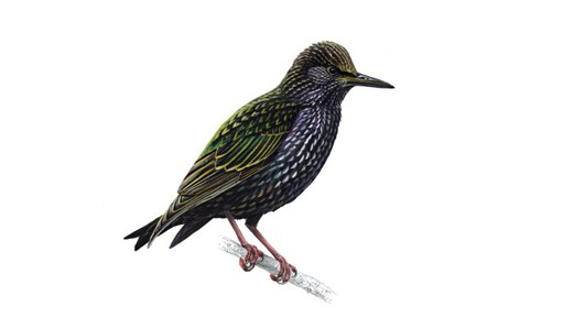 Nice wallpapers Starling 530x298px