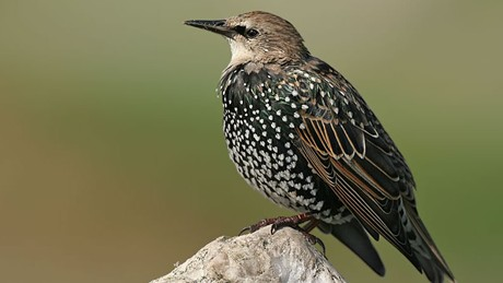Nice Images Collection: Starling Desktop Wallpapers