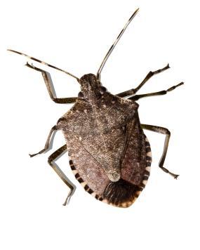 Stink Bug Pics, Animal Collection