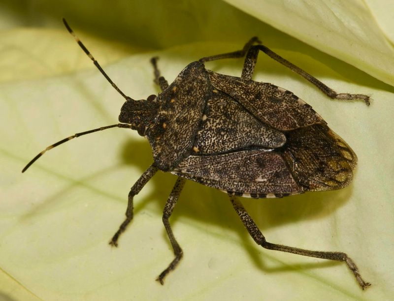 Nice Images Collection: Stink Bug Desktop Wallpapers