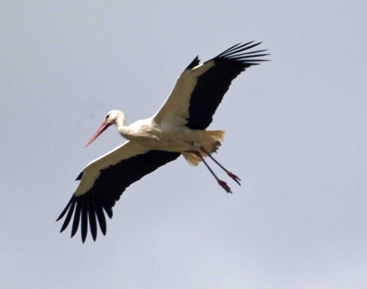 Images of Stork | 1240x975