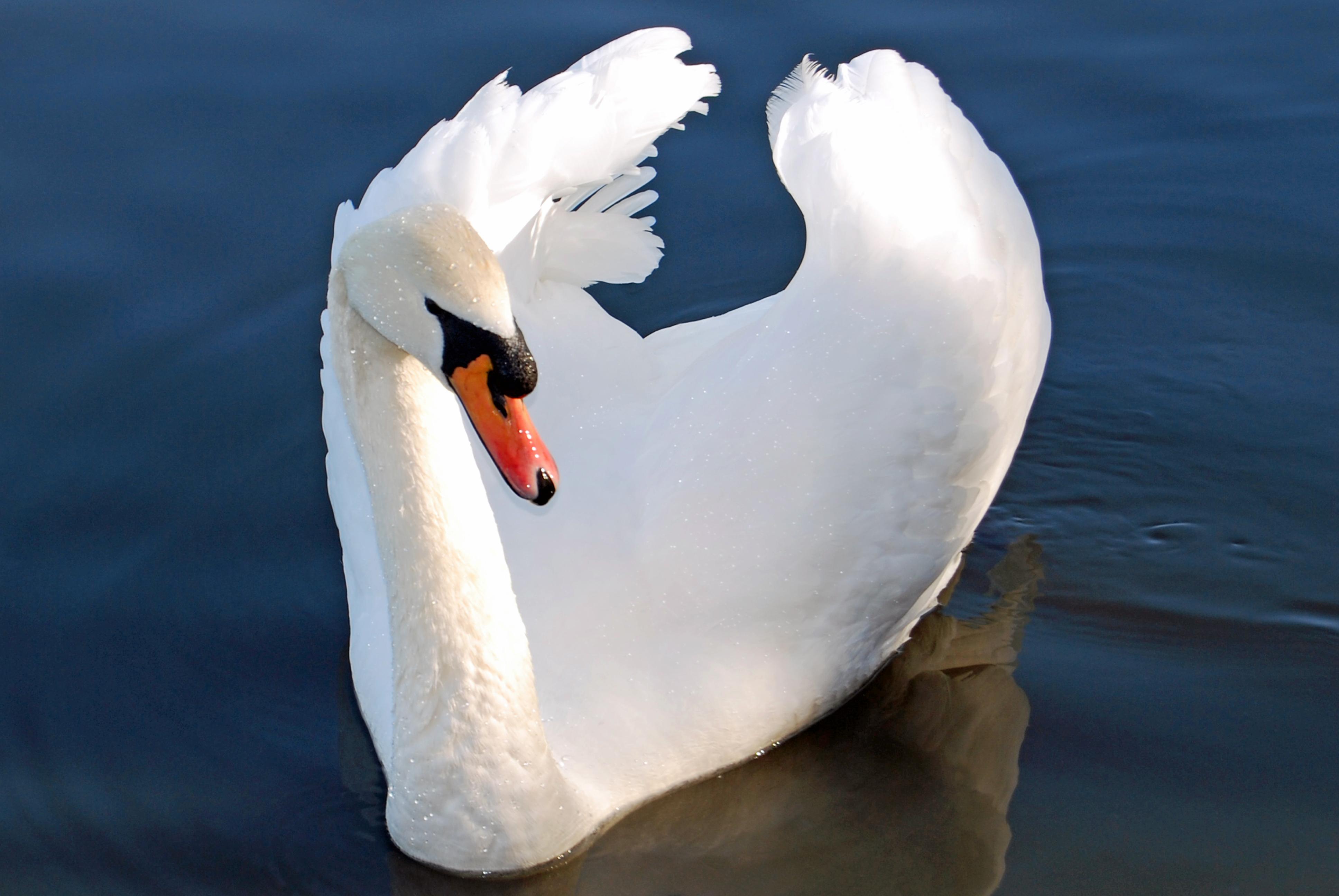 Лебедь в картинках