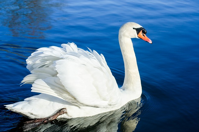 Amazing Swans Pictures & Backgrounds