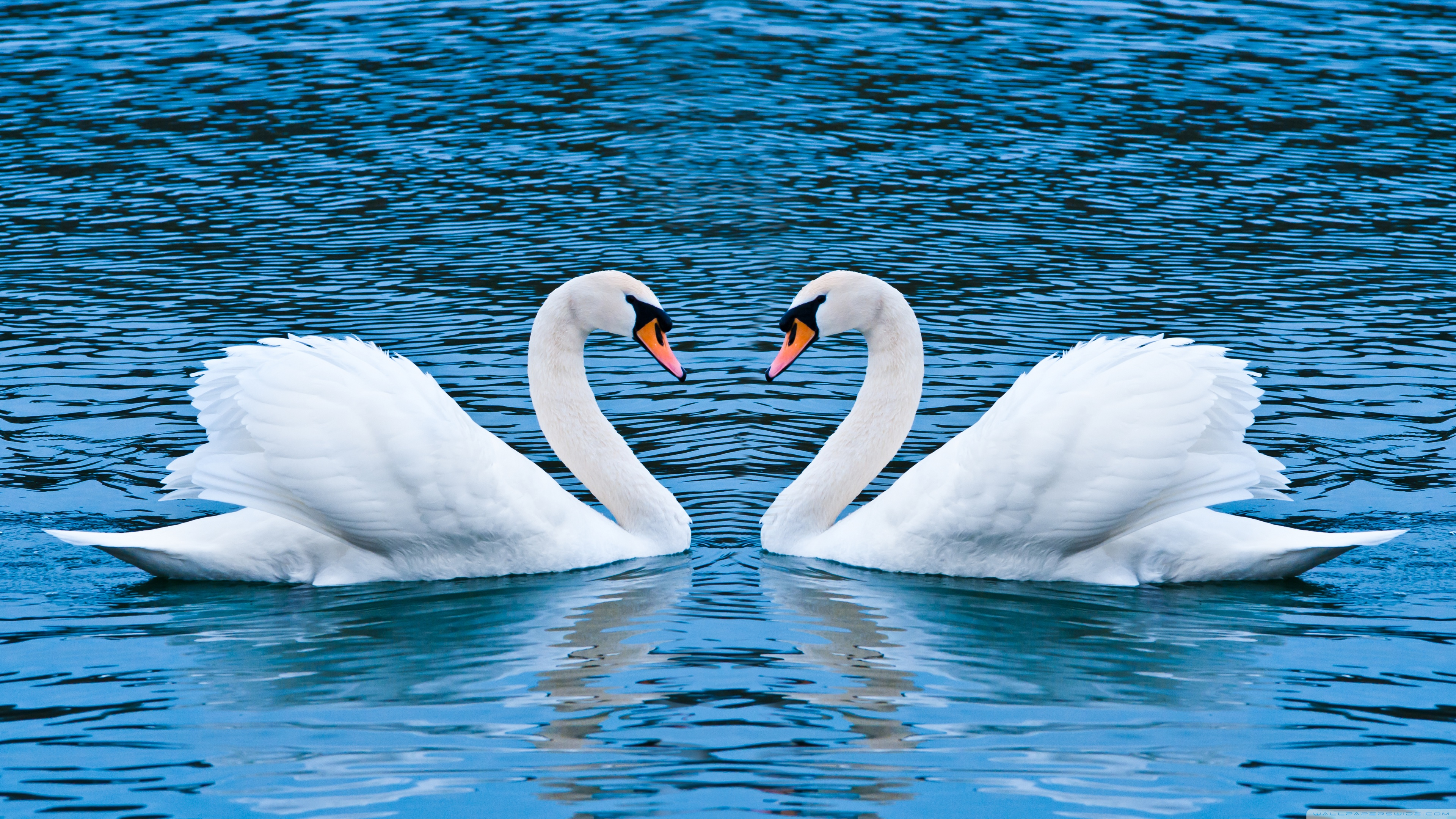 Swans Backgrounds on Wallpapers Vista