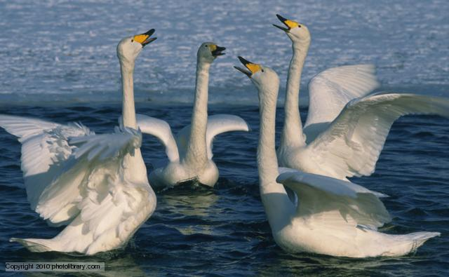 Swans High Quality Background on Wallpapers Vista