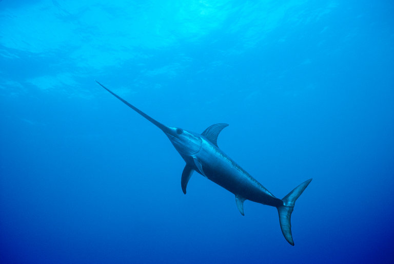 Swordfish Pics, Artistic Collection