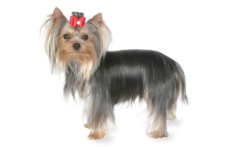 Yorkshire Terrier Pics, Animal Collection