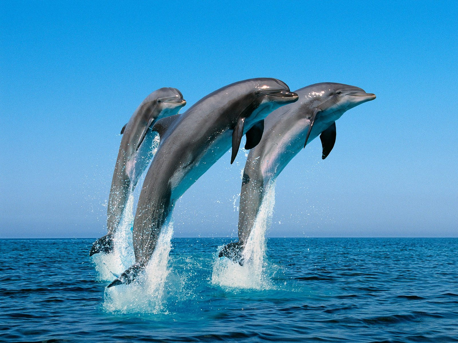 Nice Images Collection: The Dolphin Desktop Wallpapers