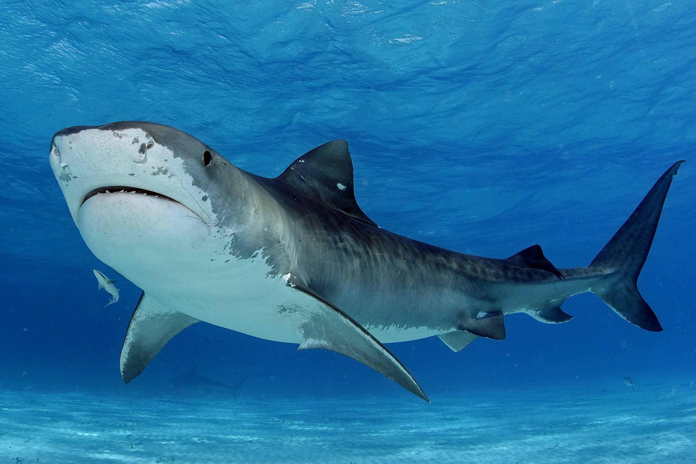 Tiger Shark Backgrounds on Wallpapers Vista