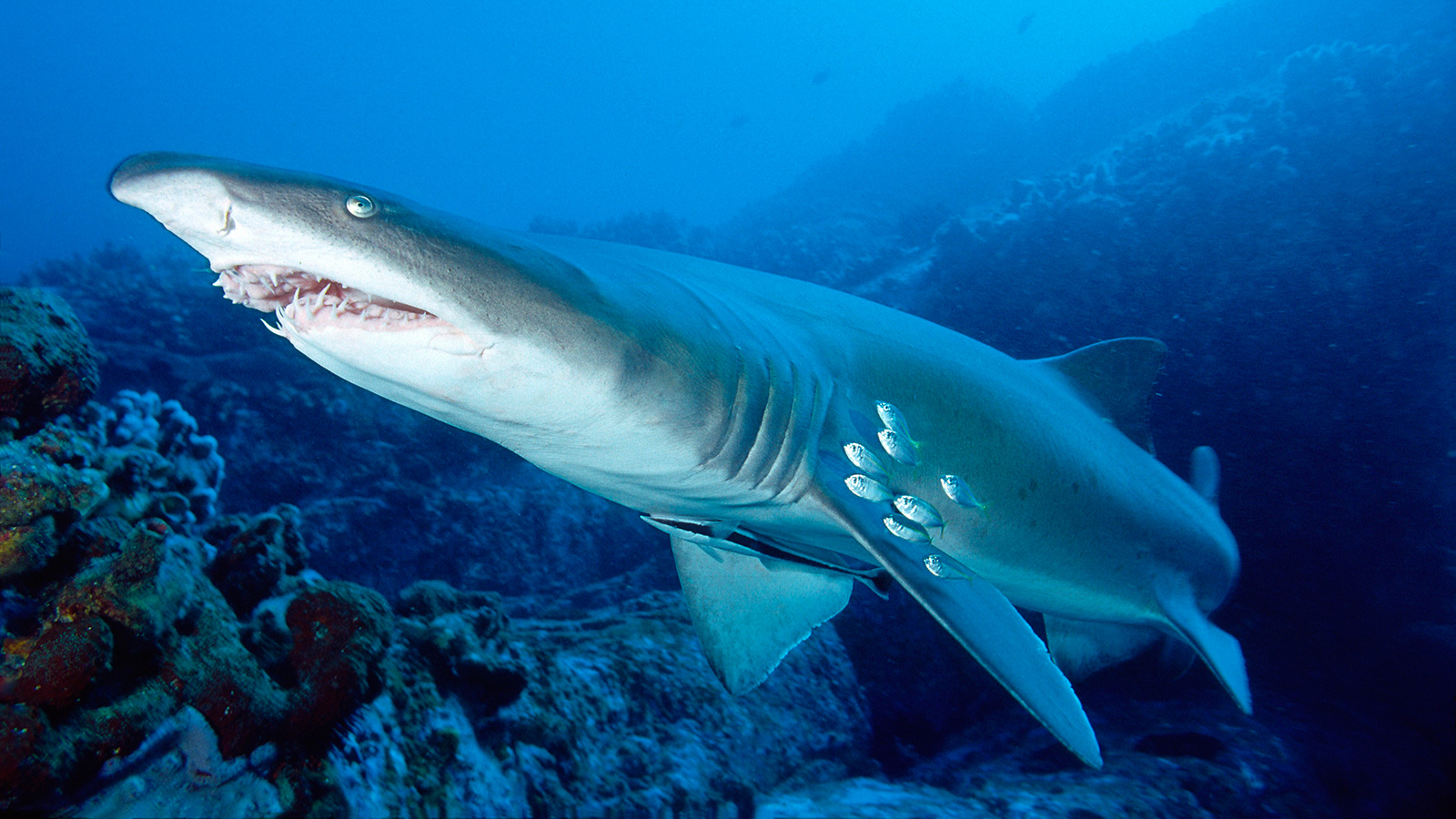Tiger Shark High Quality Background on Wallpapers Vista