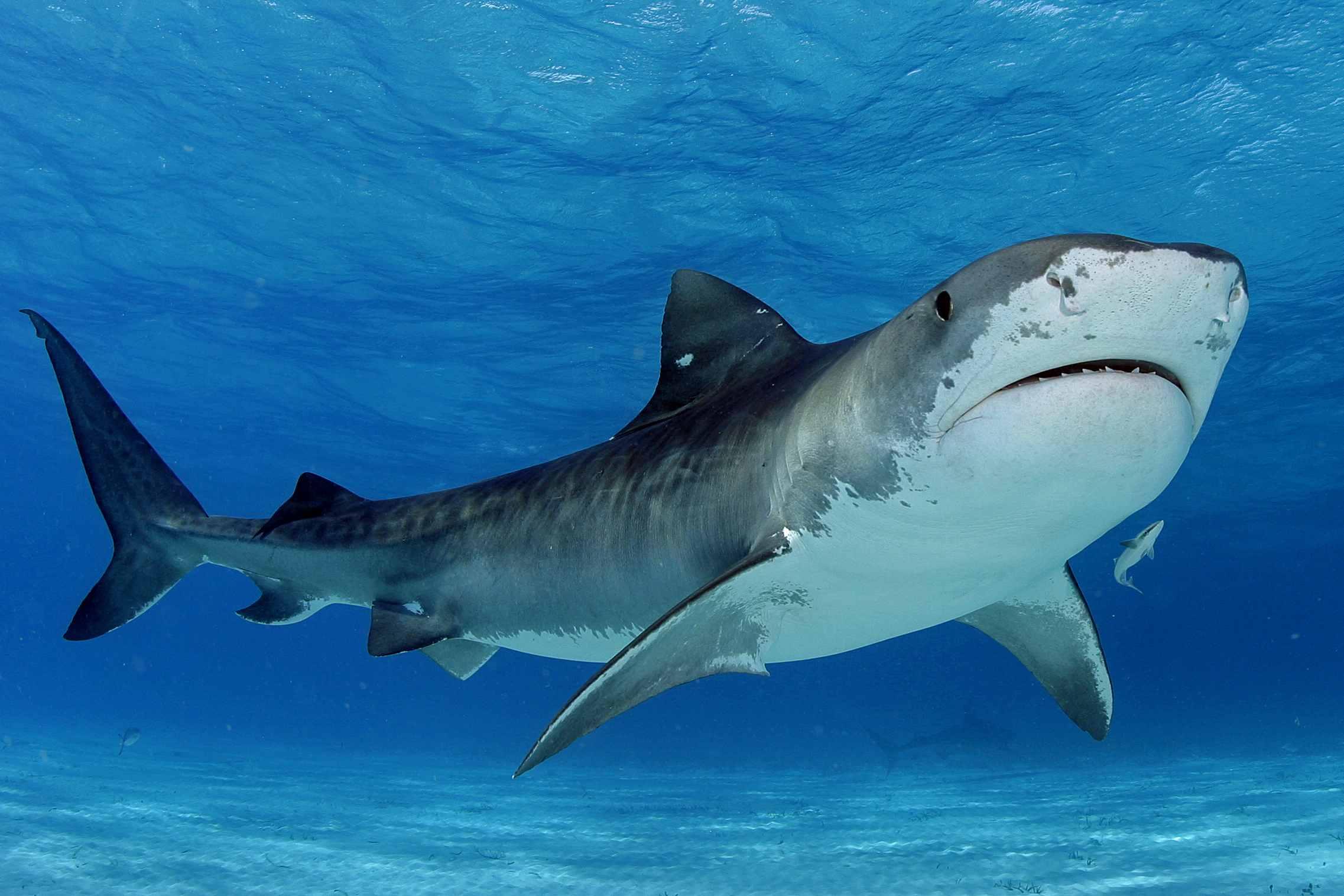 HD Quality Wallpaper | Collection: Animal, 2274x1516 Tiger Shark