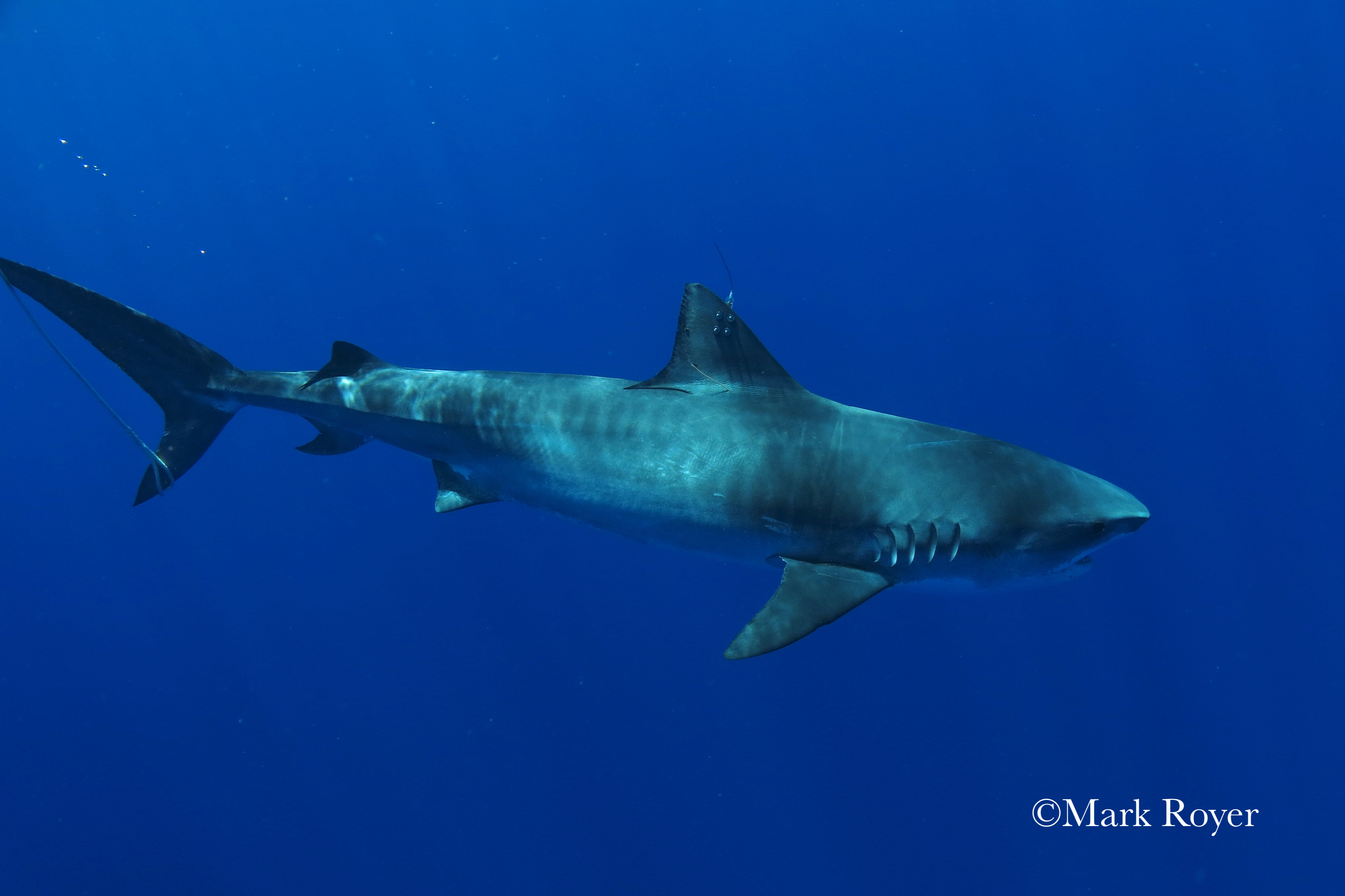 HQ Tiger Shark Wallpapers | File 3059.06Kb