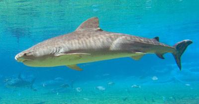 High Resolution Wallpaper | Tiger Shark 400x209 px
