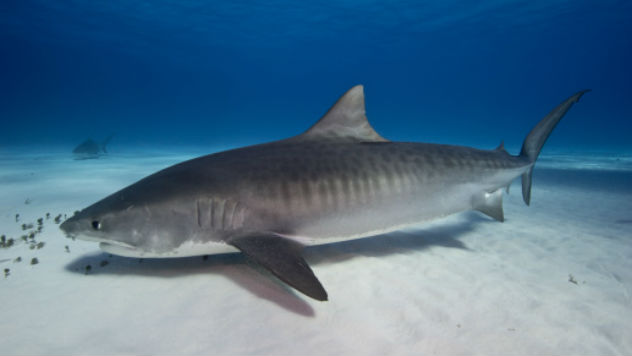 Amazing Tiger Shark Pictures & Backgrounds