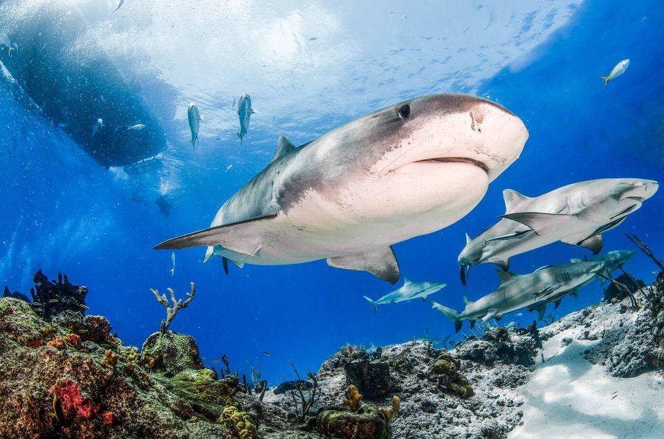 HQ Tiger Shark Wallpapers | File 119.94Kb