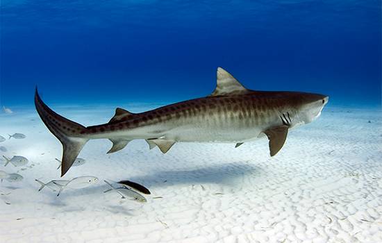 Images of Tiger Shark | 550x350